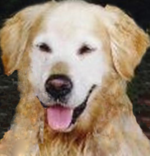 laddie english  champion golden retriever longevity