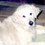 angel light cream champion golden retriever female