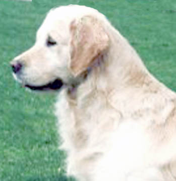 Bandit champion english golden retriever male