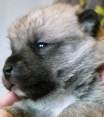 Typical Buhund Pup at 2 weeks