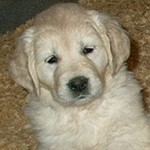 Golden Retriever Puppy - 6weeks old