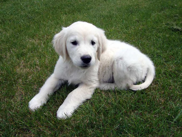 Kyon Golden Retriever