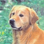 champion golden retriever rocky