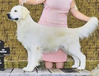 champion golden retriever cream