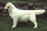 brindy cream golden retriever