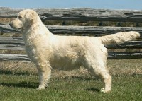 chetani cream golden retriever