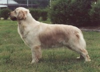 crystal golden retriever champion