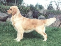 dawn goldenb retriever english