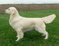 white golden retriever desiree
