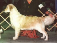 destiny golden retriever champion
