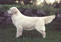 fancy white champion golden