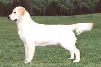 ginger golden retriever cream