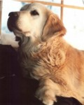 meagan champion golden retriever