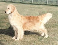 english retriever gloden passion