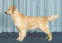shinook english golden retriever