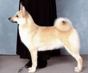 siv norwegian buhund champion