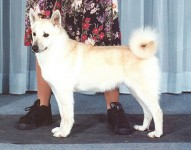 song rare breed norwegian buhund