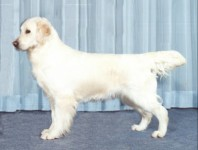 spirit cream golden retriever champion