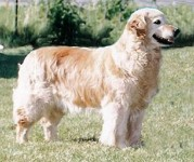 tootsie english golden retriever