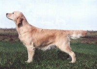 tory golden retriever english