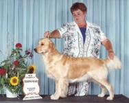 vicky golden retriever champion