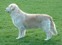 kindred golden retriever standard