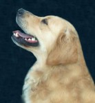 lucky pedigree golden retriever
