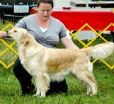 Star light english golden retriever female