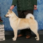 aesir norwegian buhund champion