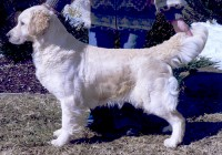 Maggei Mae english pale gold golden retriever feamle
