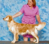 diva champion english golden retriever female