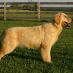 british type golden retriever