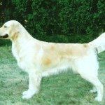 jasmine white golden retriever