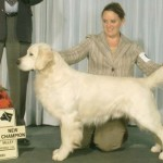 brit champion cream golden retriever