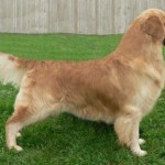 copper champion golden retriever