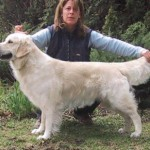 oslo champion golden retriever
