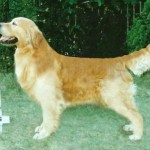 sheaster british golden retriever